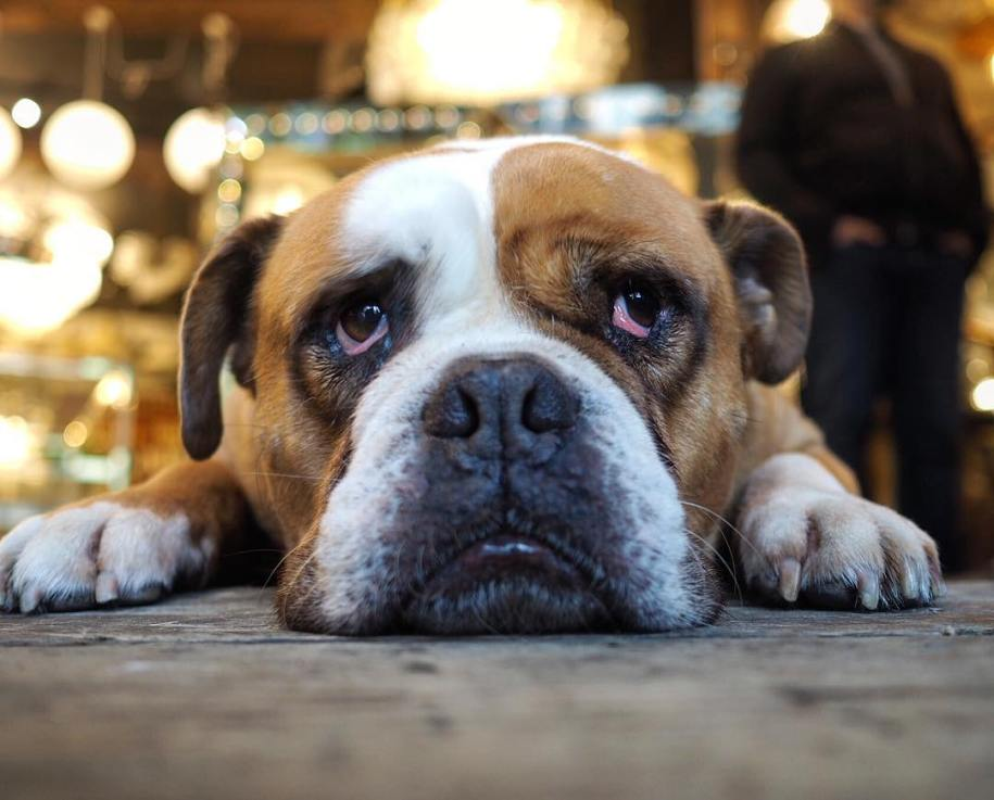 bulldog_elvis_london