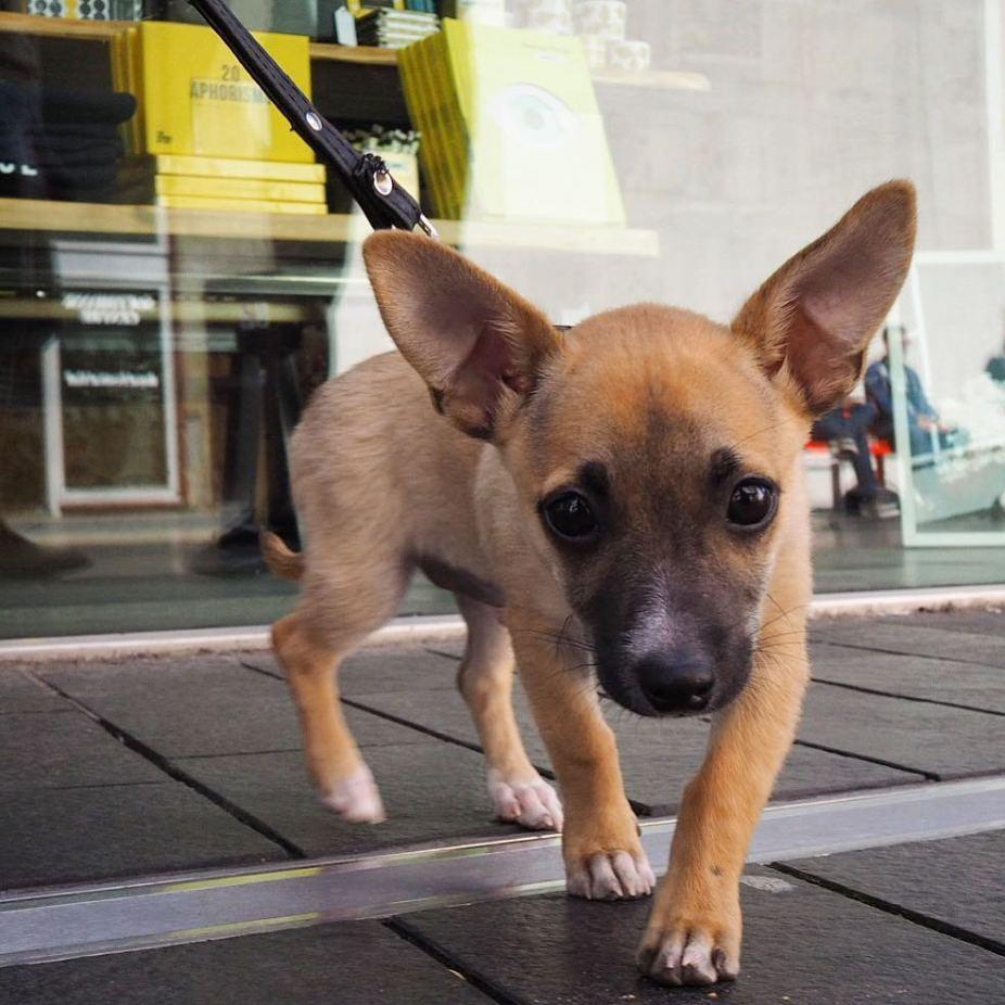 ears_pupper_london