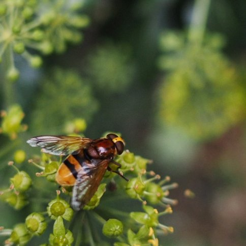nature_hoverfly_london