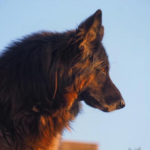 shepherd_profile_italy